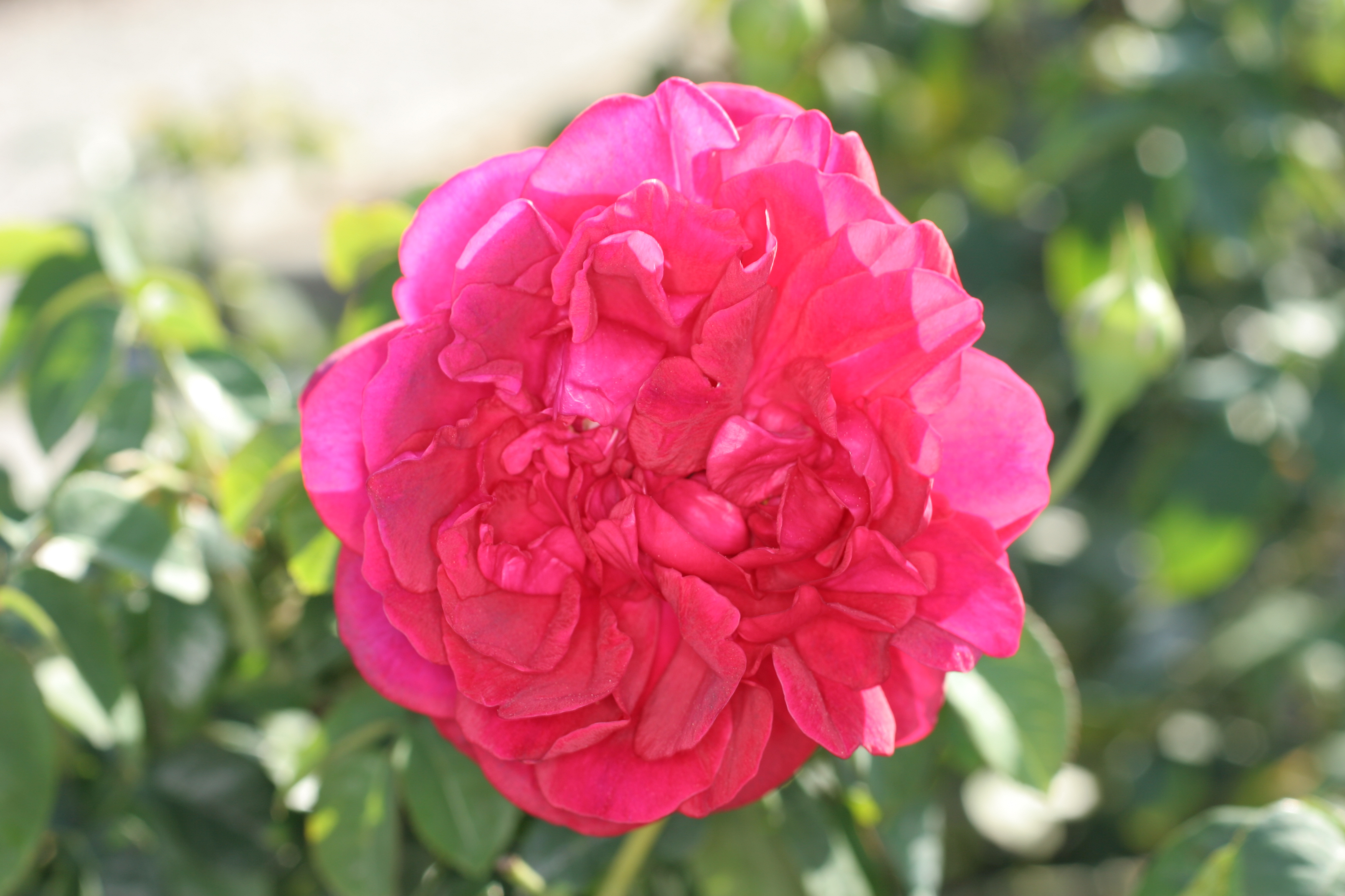 image of 'The Dark Lady', a David Austin Rose